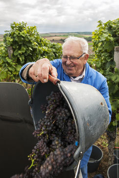 Grape Harvest; Photo: F. Trykowski